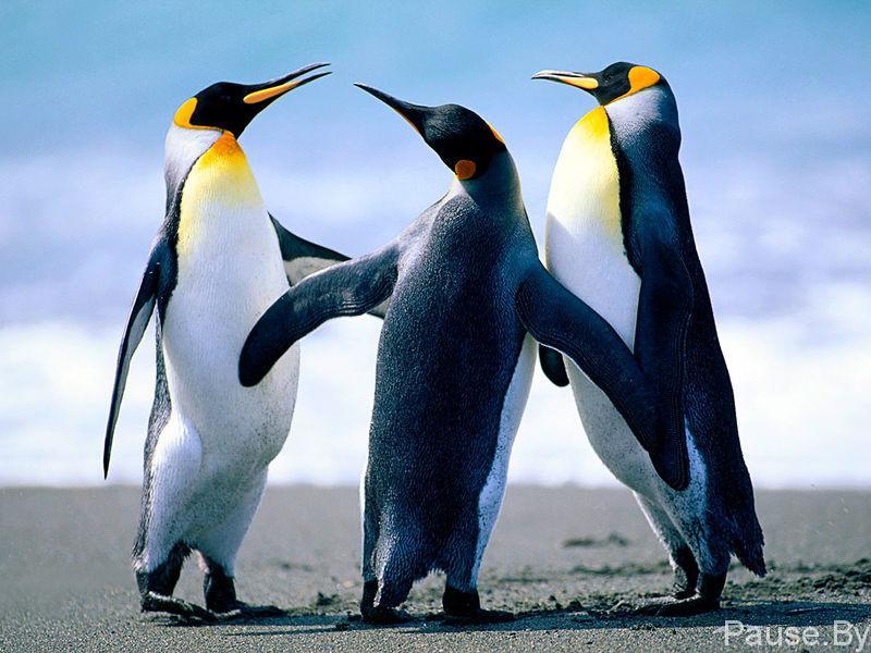 800px-penguins