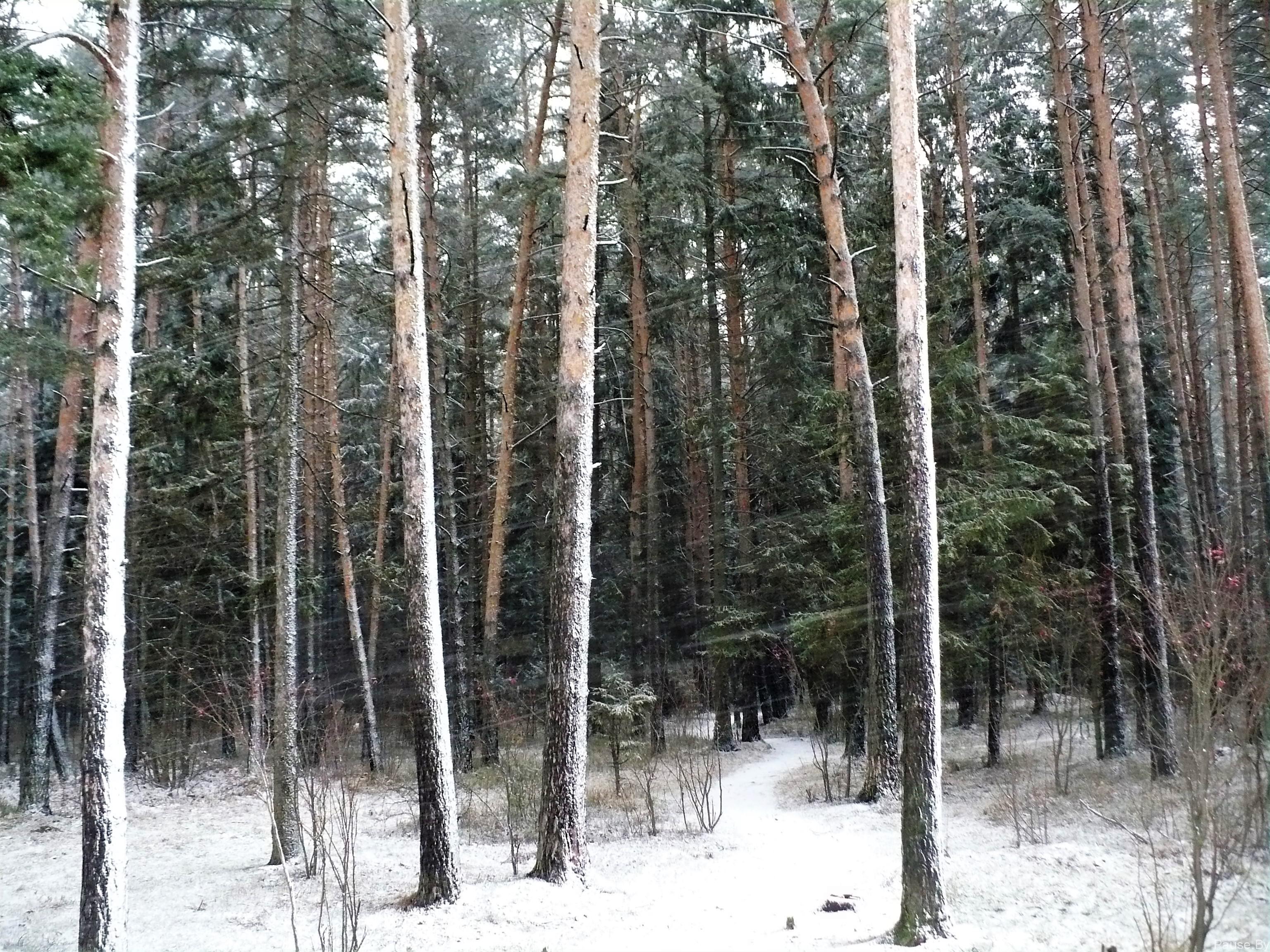 Сильный ветер со снегом в лесу, фото