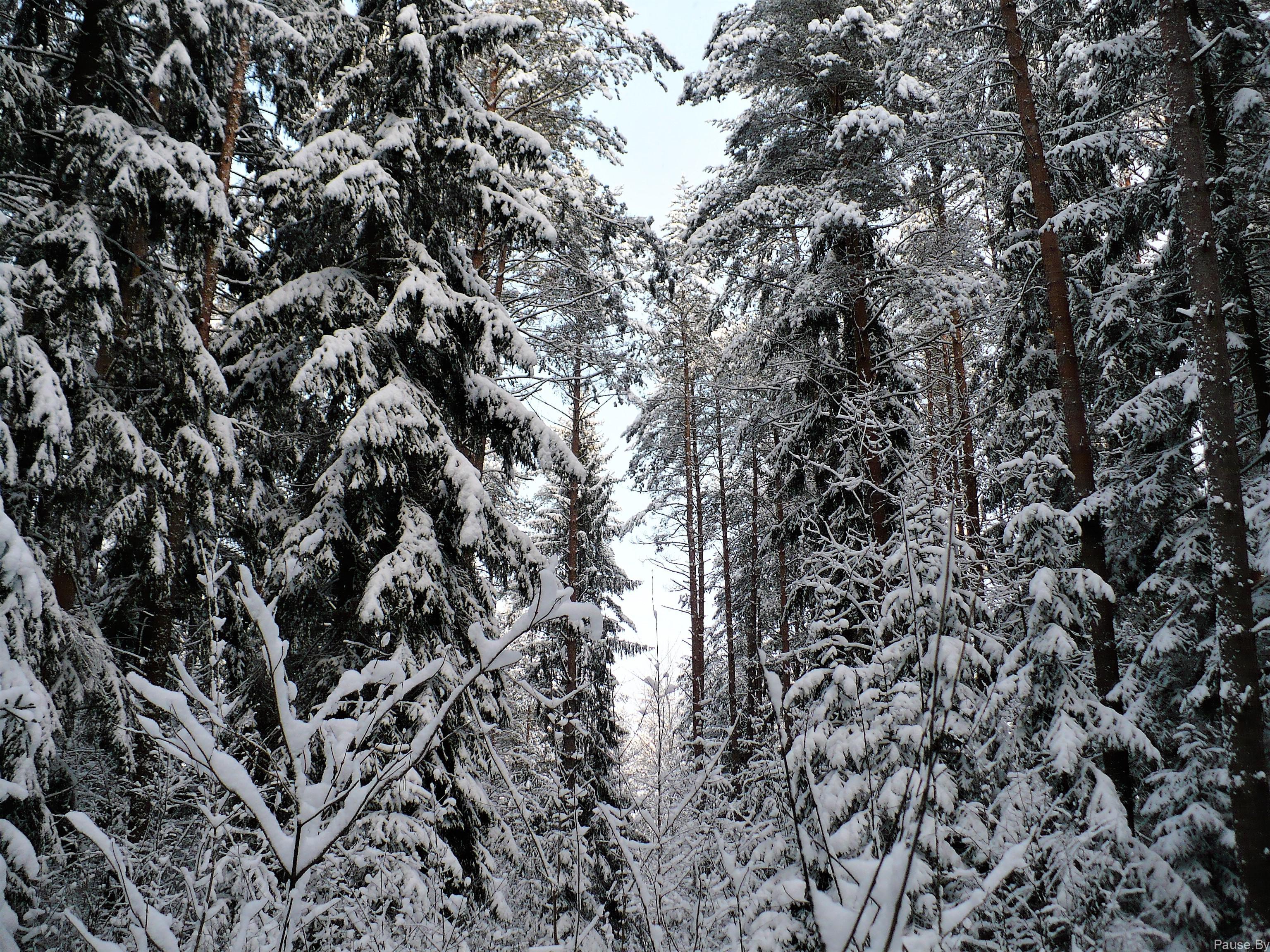 Снежный лес