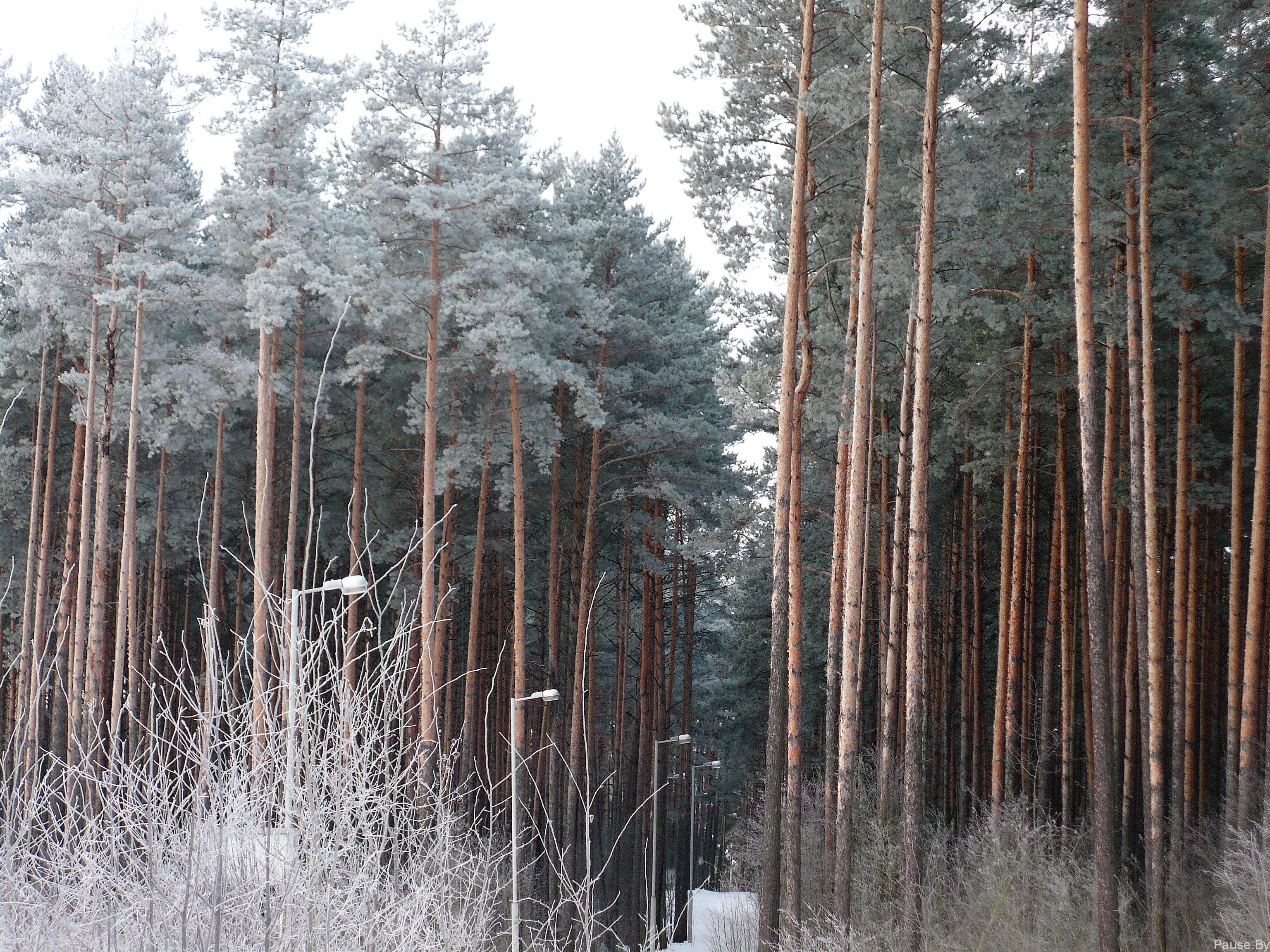 зимний лес в дражне, минск