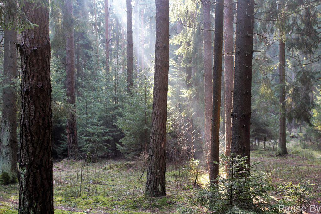 solnechnoye utro v lesujpg