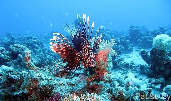 рыба крылатка.jpg
