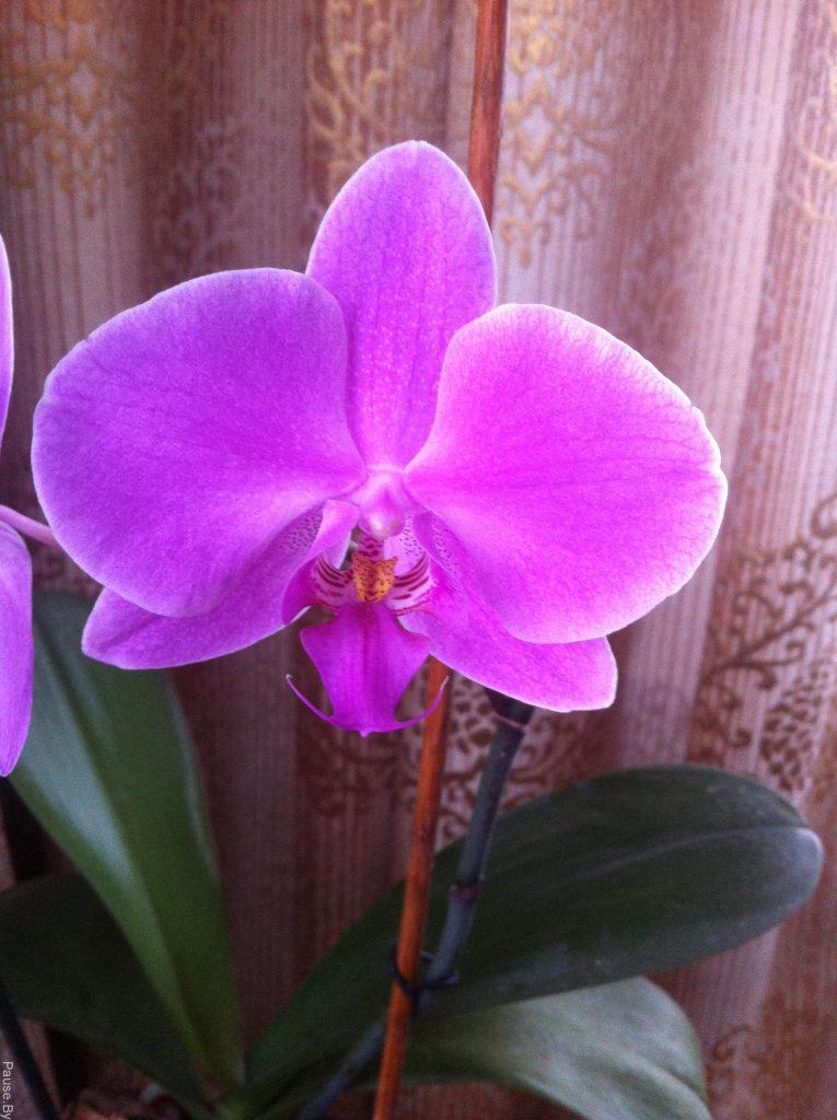 орхидея в комнате на столе.jpg