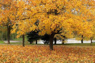 Желтый клен в городском парке.jpg