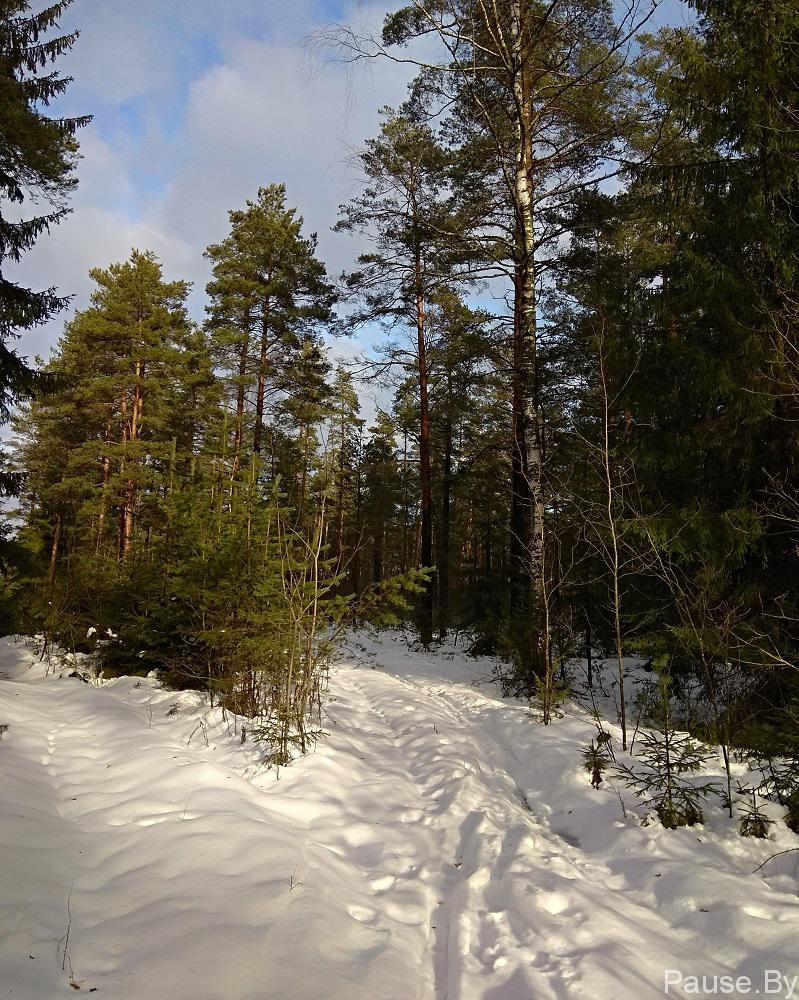 Сосновый лес возле Минска.jpg