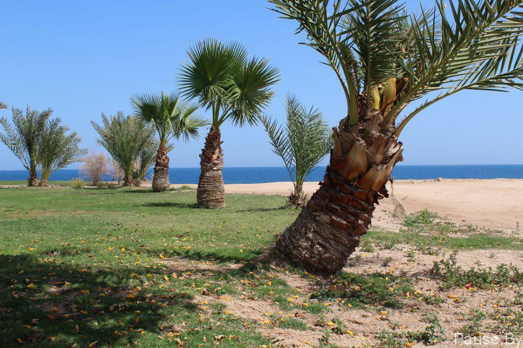 Пальмы на берегу Красного моря.jpg