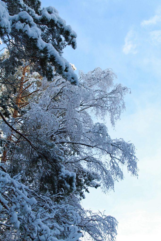 Снег на ветках сосны и березы.jpg