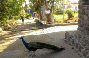 Павлин на улице города Тверия.jpg
