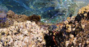 Краб на камнях Красного моря.jpg