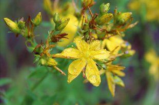 Желтый цветок зверобоя.jpg