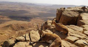 Путешествие по Израилю, горные козлы по дороге на Эйлат.jpg